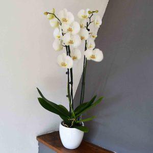 orquidea blanca