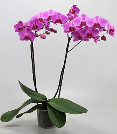 orchidee phalaenopsis mauve