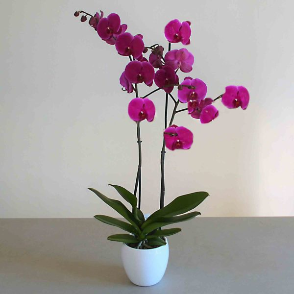 orquidia-lila-barcelona