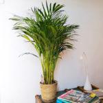 palmera-areca-domicilio