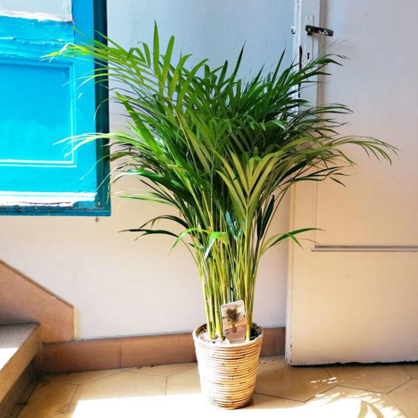 planta-areca-domicilio