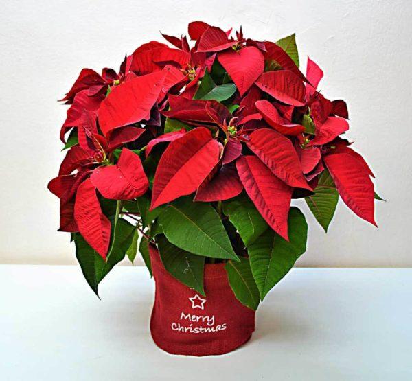 planta-navidad-barcelona