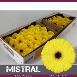 gerbera-amarilla-barcelona