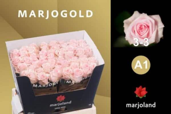 rosas-rosa-barcelona