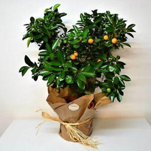 naranjo-barcelona