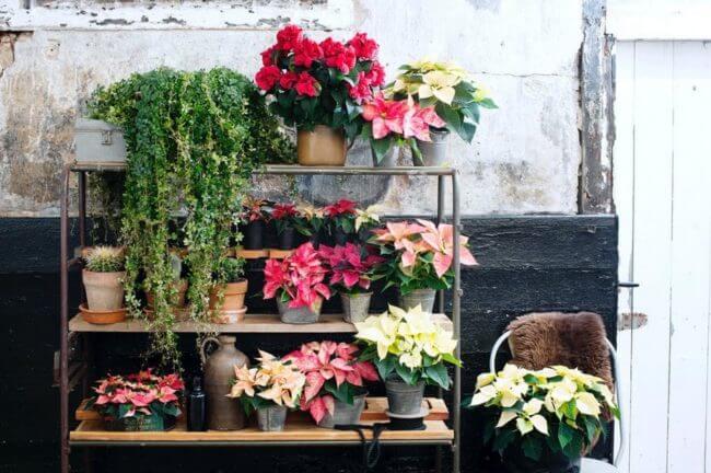 planta-navidad-Poinsettia