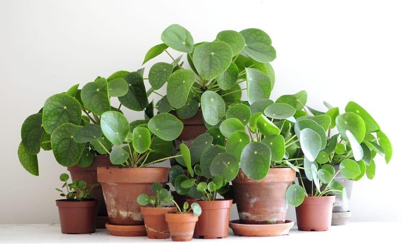 la-planta-china-del-dinero-planta-de-interior