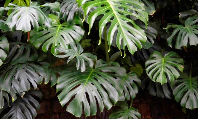 planta-costilla-adan-monstera
