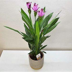 Planta de curcuma