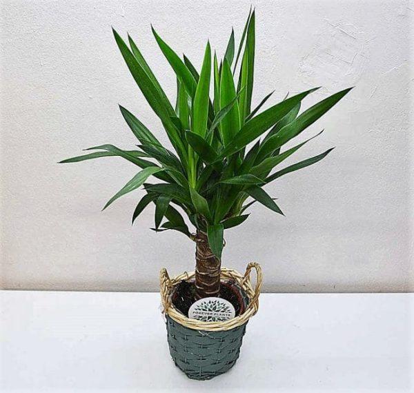 Planta de yucca