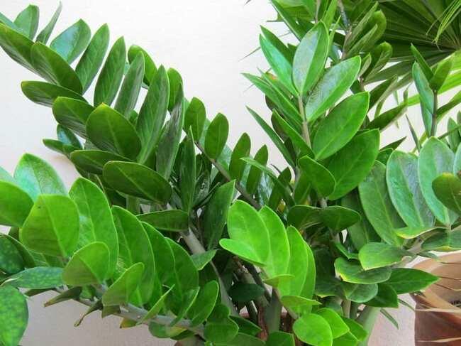 hojas-de-la-Zamioculcas-zamiifolia
