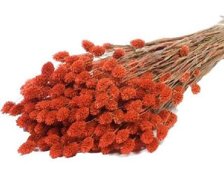 phalaris-naranja
