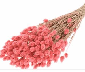 phalaris-rosa-seco