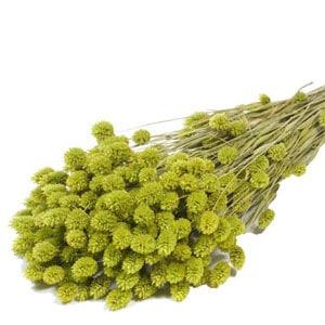 phalaris-verde