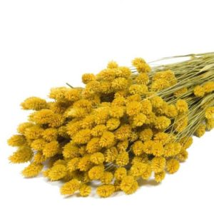 phalaris-yellow