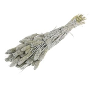 setaria gris