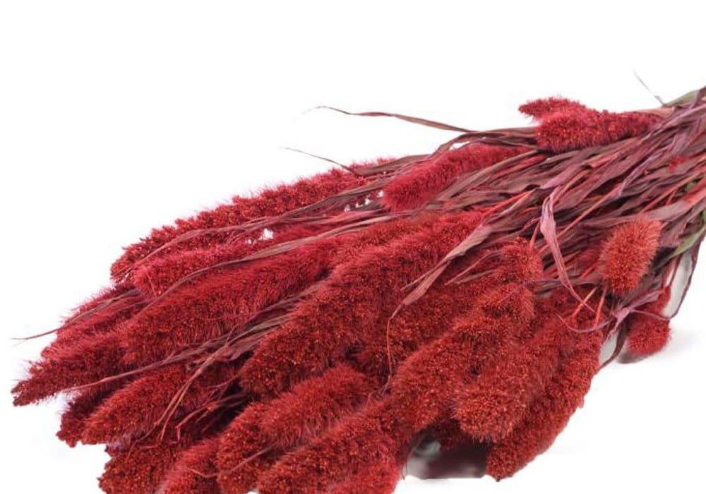 setaria-red