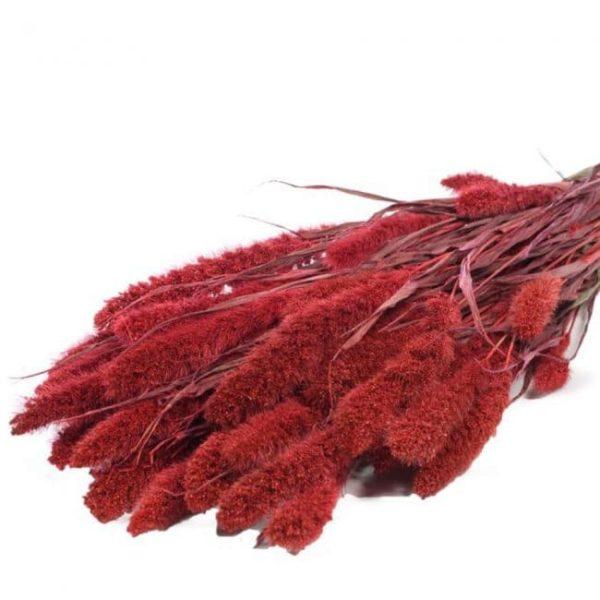 setaria roja