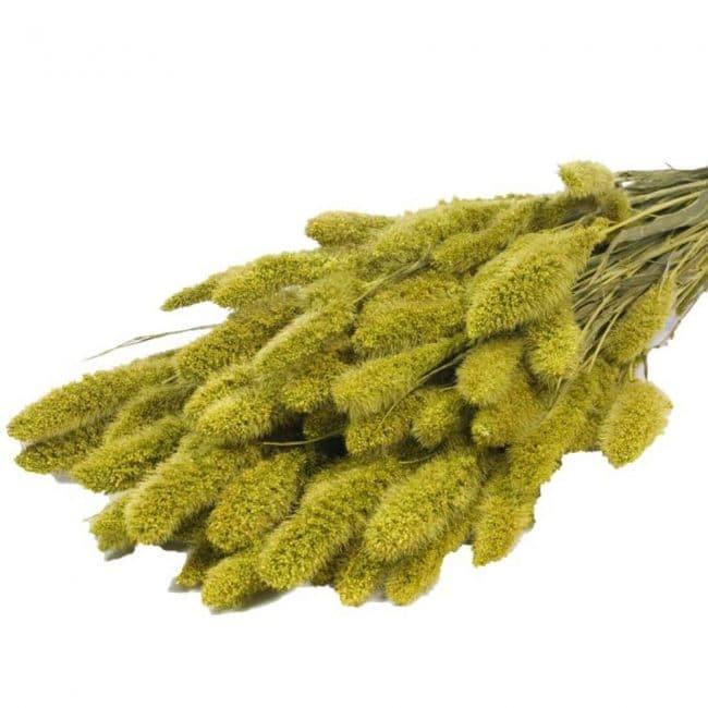 setaria-verde