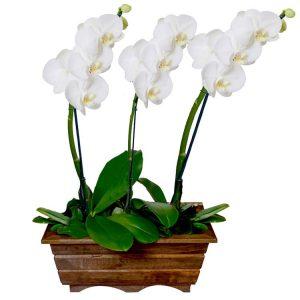 Jardín Phalaenopsis