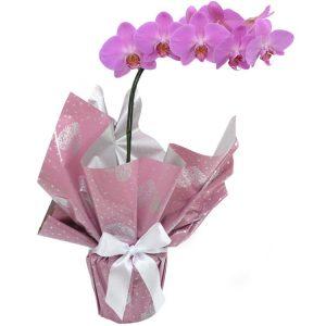 Regalo de orquídea Phalaenopsis rosa