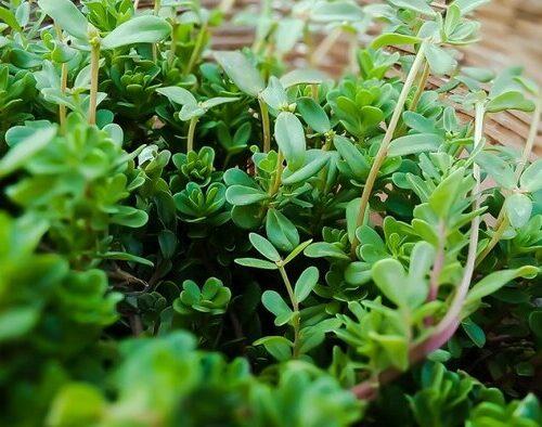 coronavirus-plantas