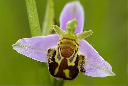 orquidea abeja