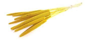 babala-amarilla
