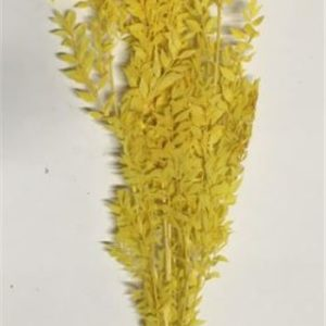 ruscus-amarillo