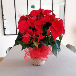 planta-navidad-domicilio