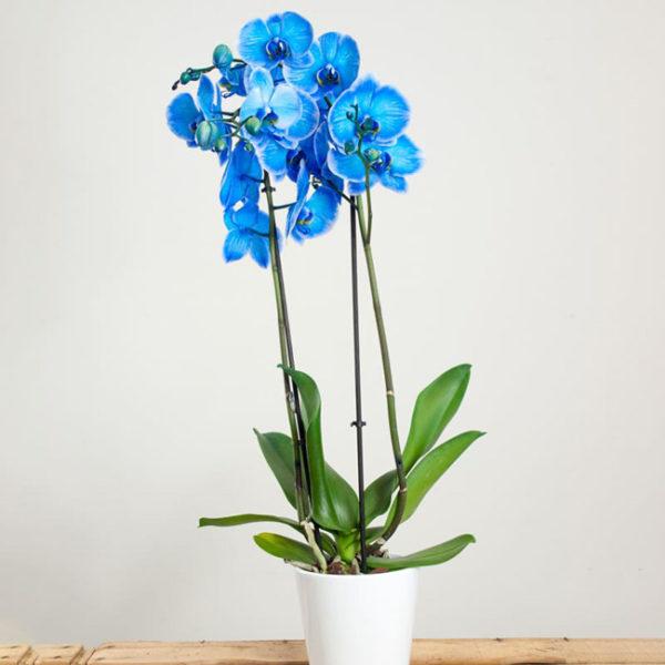 orquidea-azul-domicilio-barcelona