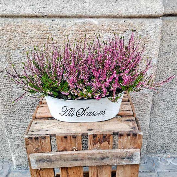 erica-brezo-planta-barcelona